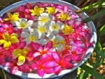 Bowl of Plumeria Flowers