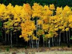 Golden Birch Trees in Forest - hdr