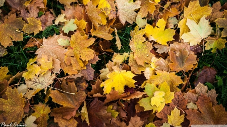 Autumn leaves - wallpaper, leaves, nature, grass, autumn, colours, seasons, fall, colourful, HD, leaf