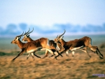 Gazelles of African Savanna