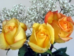 Yellow Roses - hdr