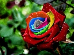 Droplets on Colorful Rose