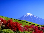 Tea Plantation, Mount Fuji, Japan