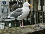 California Blood Gull f