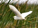 Snowy Egret in the Tullies