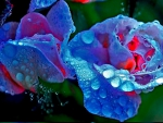 Droplets on Roses