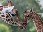 MOTHER AND BABY GIRAFFES