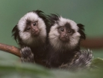 TWO CUTE MARMOSETS