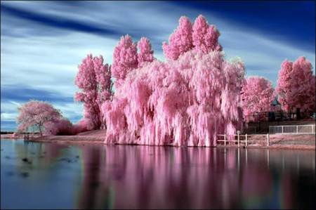 Bubblegum Trees - bubblegum trees, lake, bubblegum, bubblegum tree, tree, pink trees, pink tree, lakeside
