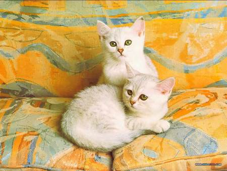 Two of a kind - lounge cushions, white kittens, cats