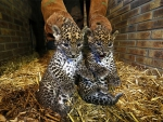 Two small leopards