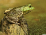 green frog on stump