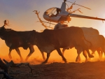 Cattle Mustering With A Helicopter
