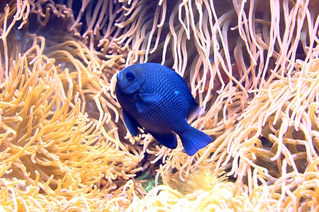 Blue Fish in Coral - pictures, Meer, Animal, beauty, Koralle