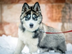Siberian Husky in Winter