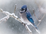 Blue Jay on Snowy Branch