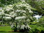 Dogwood Tree in Bloom F