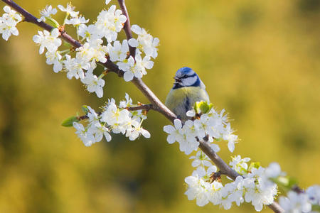 Blue Tit - animals, roses, nature, blossoms, birds