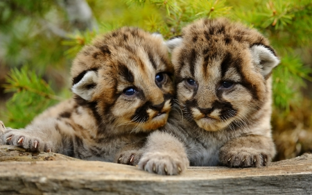 Baby Cougars - Cats & Animals Background Wallpapers on Desktop ...