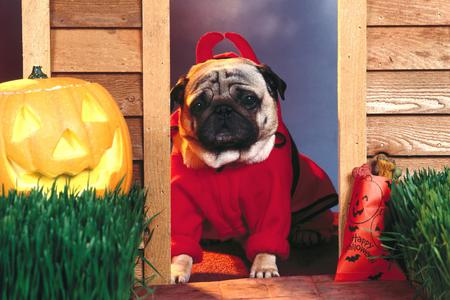 Devil Dog - dog, jack o lantern, costume, devil, door, horns, pumpkin