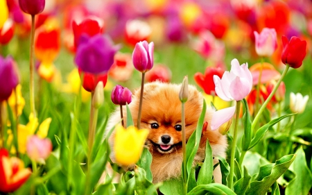 PUPPY from the TULIPS FIELDS - buds, tulips, enchanting nature, lovely flowers, fields, flowers, splendor, nature