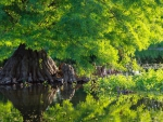 Cypress Tree Reflection