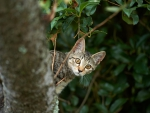 Kitten Peeking out from behind Tree