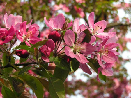 Crab Apple Tree - crab apple tree, pink blossoms, spring