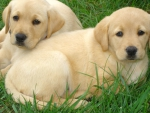 Two labradors - puppies