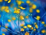 Buttercups on Blue