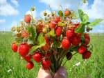wild strawberries bunch