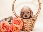 Cocker Spaniel Puppy and Roses