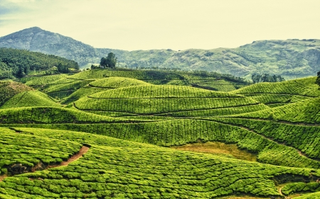 Tea Plantation Kerala India - Nature, Tea, Mountain, Green, Indian, Forest