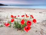 Poppies at the Beach