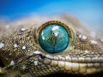 Green eyed gecko