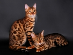 Bengal Cat Couple