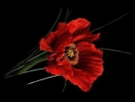 Gorgeous Red Poppy