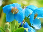 Flowers - blue poppies
