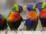 Rainbow Lorikeets having a chat