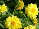 Golden dahlias