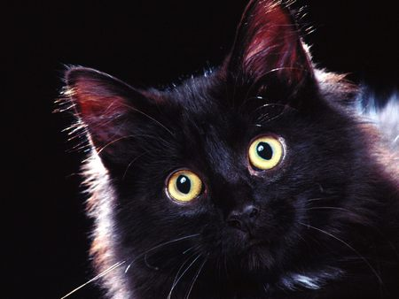Black Cat (Halloween) - black cat, halloween, black, kitten, cats, cat, cute, on black