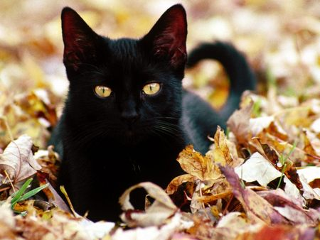 Black Cat - Autumn Leaves - leaves, black, kitten, cats, cat, gold eyes, fall, autumn