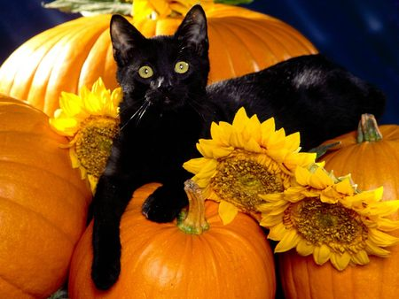 Halloween Black Cat on a Pumpkin - halloween, cat, fall, autumn, sooooooo cute, pumpkin
