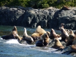 Stella Seals at Telegraph Cove 2