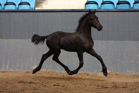Image result for picture baby friesian horse
