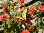 Yellow Swallowtail