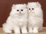 two white fluffy kittens