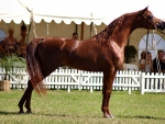 Arabian Stallion - Horse