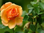 Peach Colored Rose F