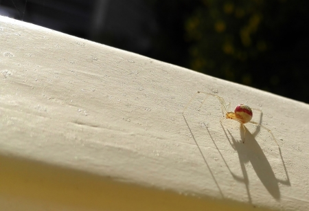Red Striped Spider - Norway, Morning, Spider, Shadows, White